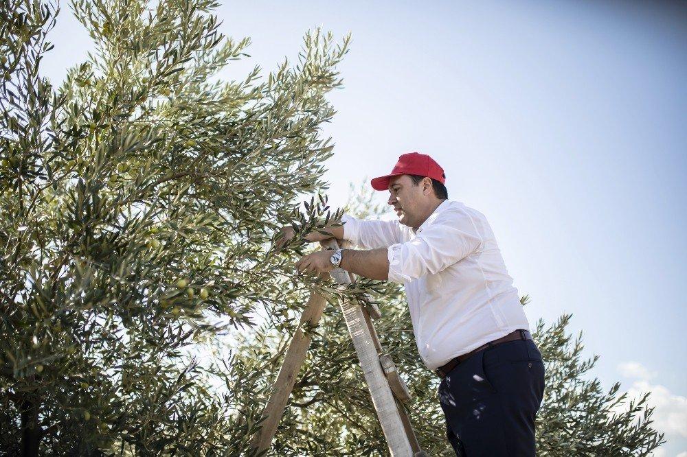 Başkan Dutlulu, Belediyeye Ait Arazilerde Zeytin Hasadı Yaptı