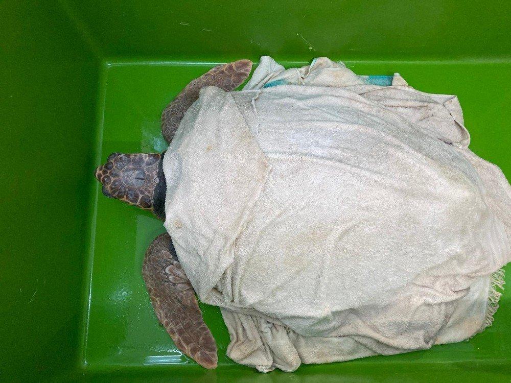 Deniz Kaplumbağalarının Rutin Bakımları Titizlikle Yapılıyor