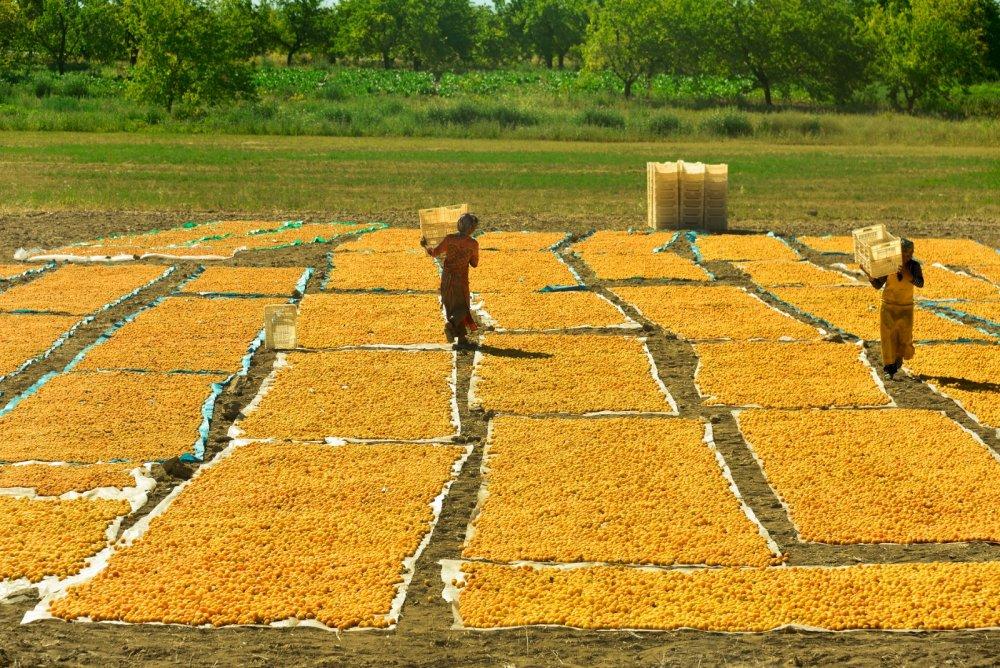 Malatya'da 15 Bin Mevsimlik İşçi İle Kayısı Hasadı